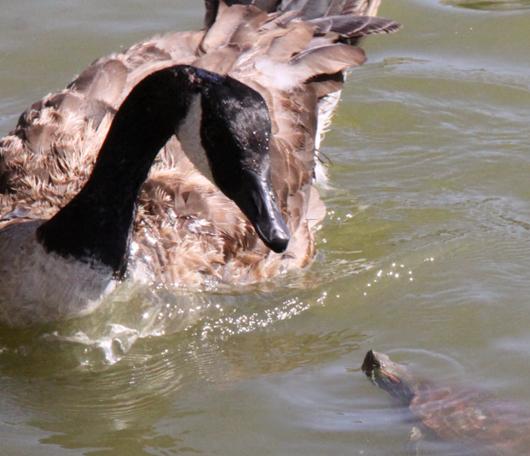 野生の王国化しつつあるセントラルパーク北限の湖 Harlem Meer _b0007805_1238446.jpg