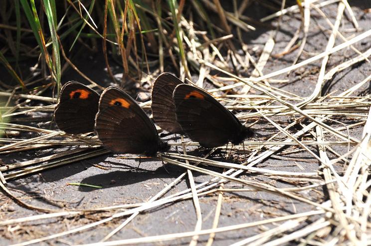 2010年想い出の蝶ランキング9位ベニヒカゲ_e0194952_914338.jpg