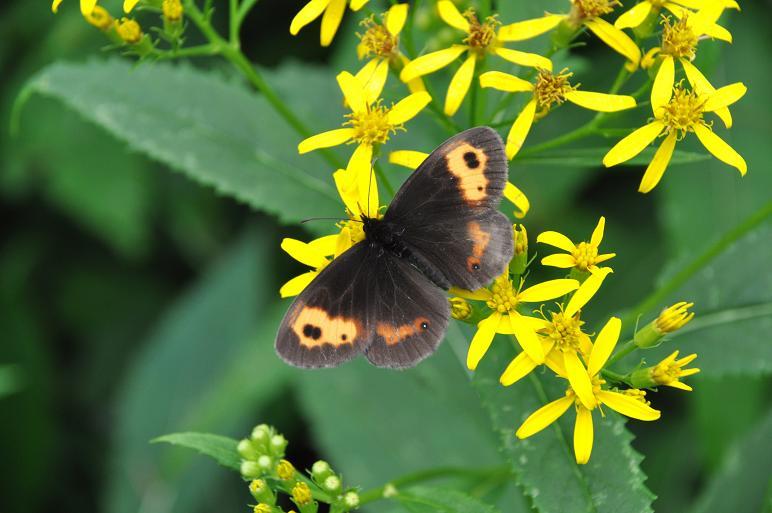 2010年想い出の蝶ランキング9位ベニヒカゲ_e0194952_935867.jpg