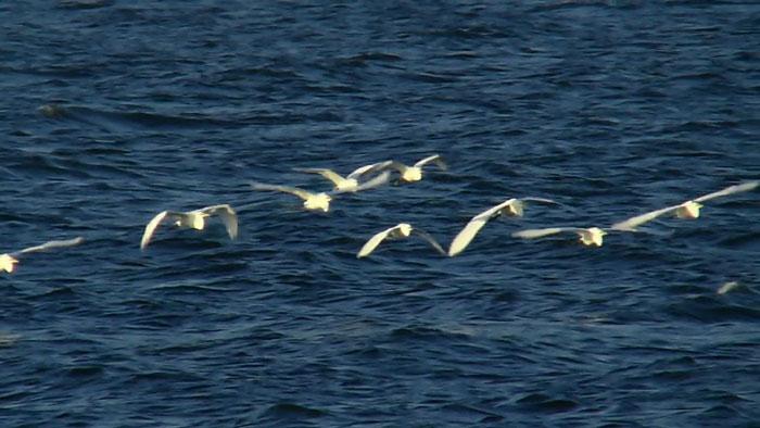 海上を飛ぶ サギの群れ _e0088233_2215434.jpg