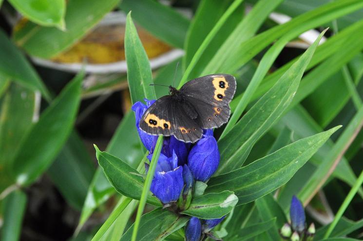 2010年想い出の蝶ランキング9位ベニヒカゲ_e0194952_873327.jpg