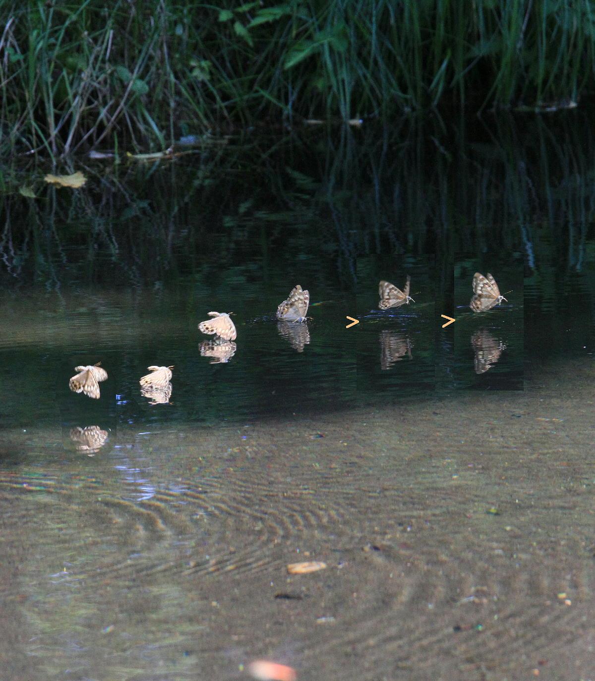 ヒメキマダラヒカゲ 水上移動と水浴び  2010.9.4群馬県_a0146869_5103262.jpg