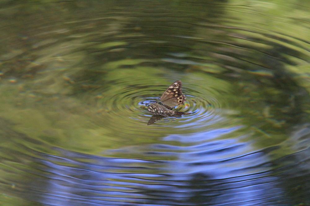 ヒメキマダラヒカゲ 水上移動と水浴び  2010.9.4群馬県_a0146869_542338.jpg