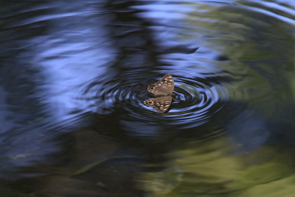 ヒメキマダラヒカゲ 水上移動と水浴び  2010.9.4群馬県_a0146869_581833.jpg