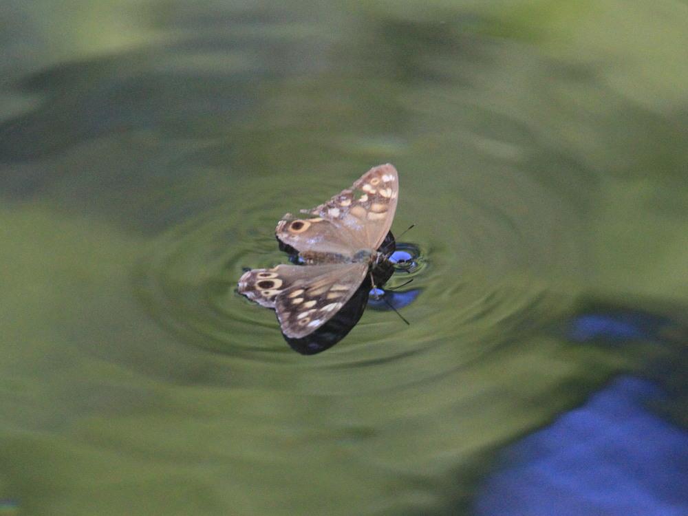 ヒメキマダラヒカゲ 水上移動と水浴び  2010.9.4群馬県_a0146869_59646.jpg