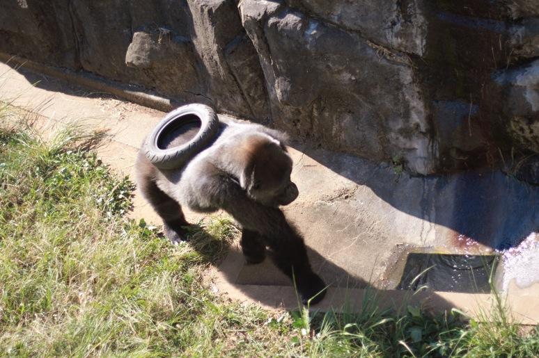 まん丸なゴリラの赤ちゃんのお披露目_c0222817_22323066.jpg