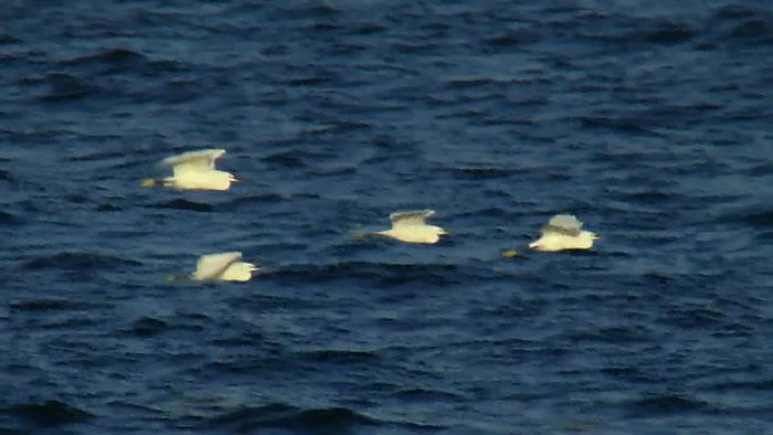 海上を飛ぶ 4羽のコサギ_e0088233_0205021.jpg
