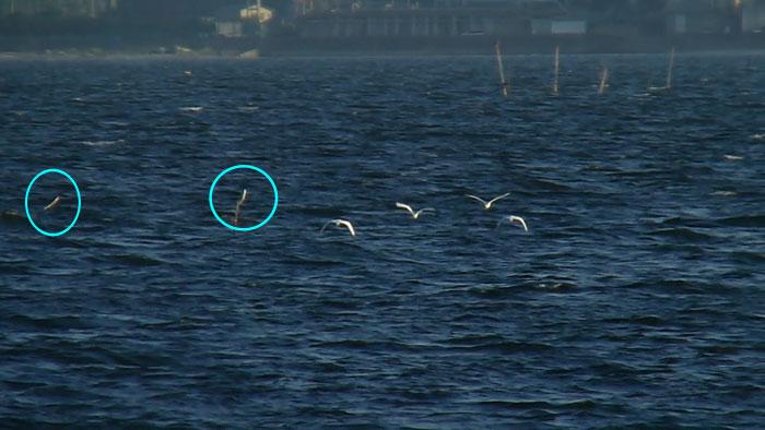 海上を飛ぶ 4羽のコサギ_e0088233_0213127.jpg