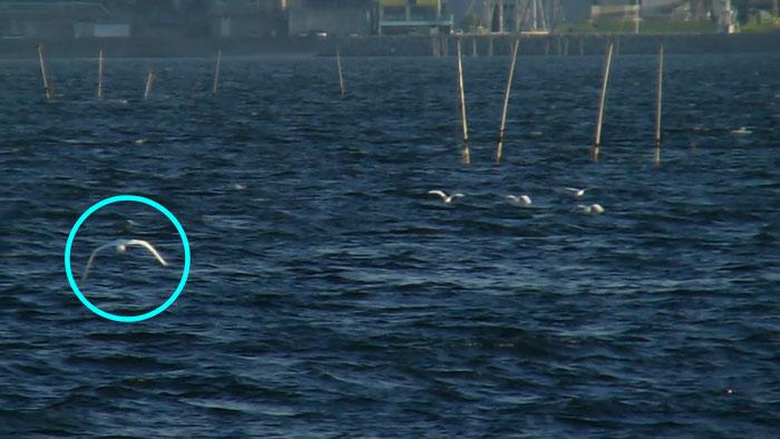 海上を飛ぶ 4羽のコサギ_e0088233_0215711.jpg