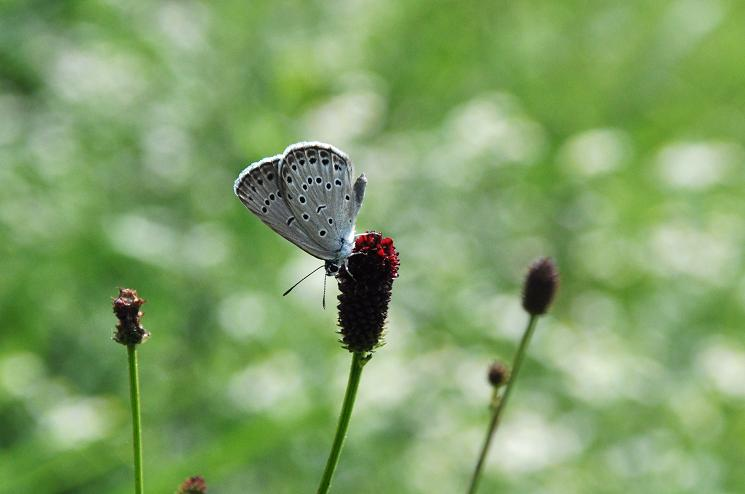 2010想い出の蝶ランキング6位ゴマシジミ_e0194952_10212523.jpg