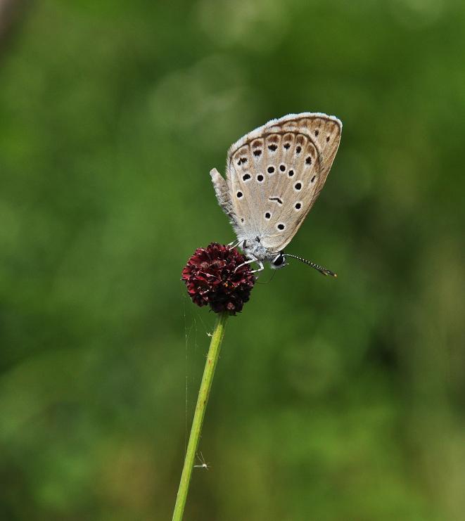 2010想い出の蝶ランキング6位ゴマシジミ_e0194952_21402788.jpg