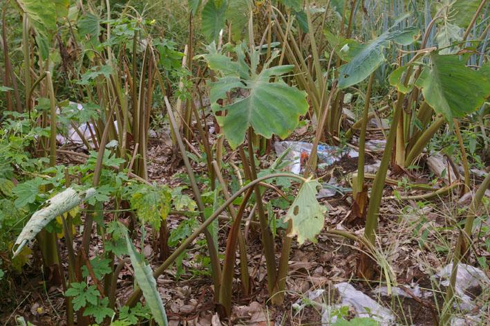 猛暑と虫害でサトイモは息も絶え絶え(10年9月10日)_c0014967_18373750.jpg
