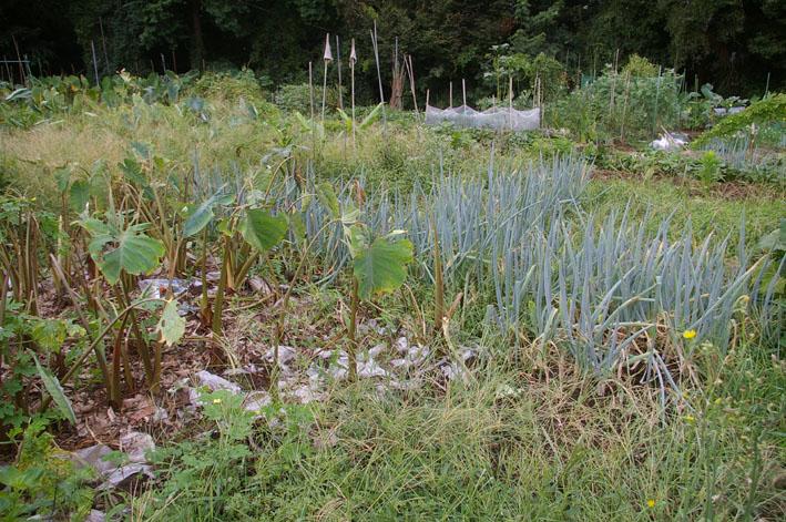 猛暑と虫害でサトイモは息も絶え絶え(10年9月10日)_c0014967_18403664.jpg