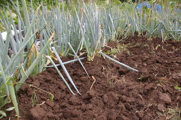 猛暑と虫害でサトイモは息も絶え絶え(10年9月10日)_c0014967_1841587.jpg