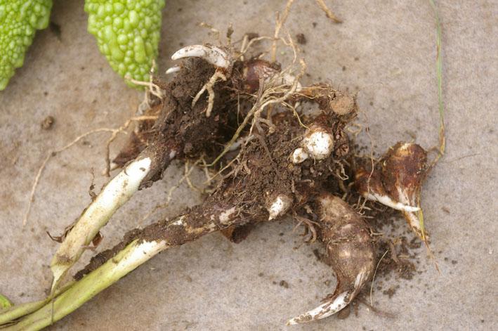 猛暑と虫害でサトイモは息も絶え絶え(10年9月10日)_c0014967_18424368.jpg