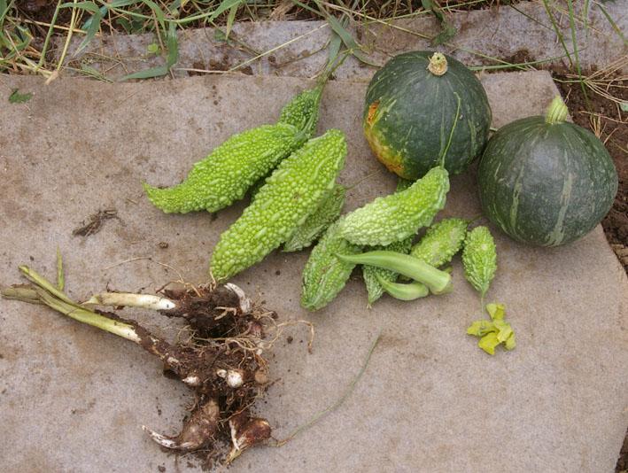 猛暑と虫害でサトイモは息も絶え絶え(10年9月10日)_c0014967_1842992.jpg