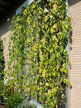 9月の緑のカーテン_d0020309_1102920.jpg