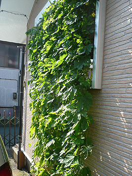 9月の緑のカーテン_d0020309_1141498.jpg