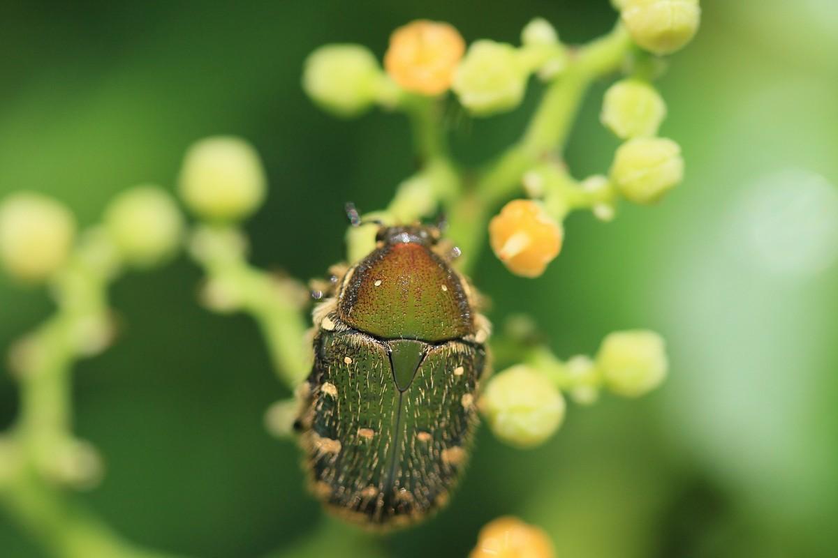 ヤブガラシレストランに集まる虫たち_c0104227_8242627.jpg