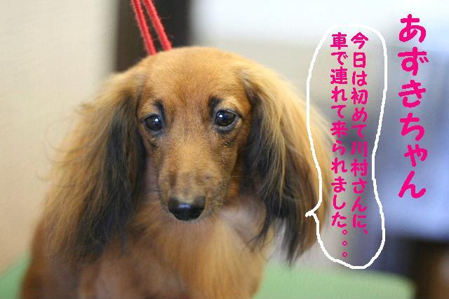 ダックスちゃんまみれ!_b0130018_15364619.jpg