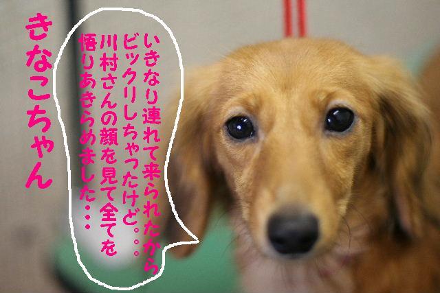 ダックスちゃんまみれ!_b0130018_15373044.jpg