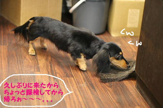 ダックスちゃんまみれ!_b0130018_15382476.jpg