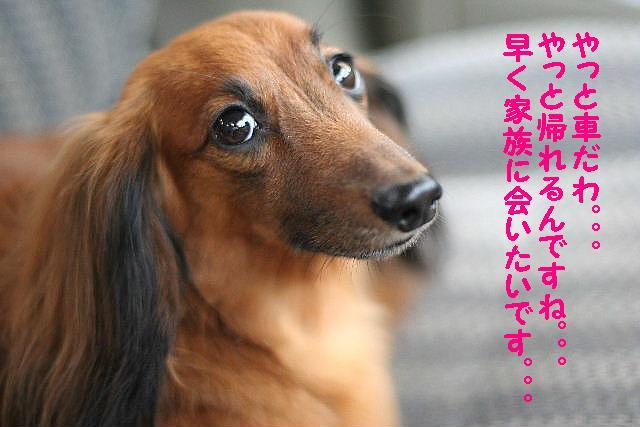 ダックスちゃんまみれ!_b0130018_15391181.jpg