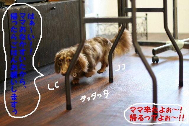 ダックスちゃんまみれ!_b0130018_15411342.jpg