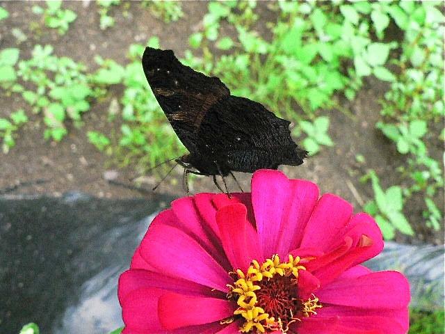 黒い蝶を追って_d0001843_0263792.jpg