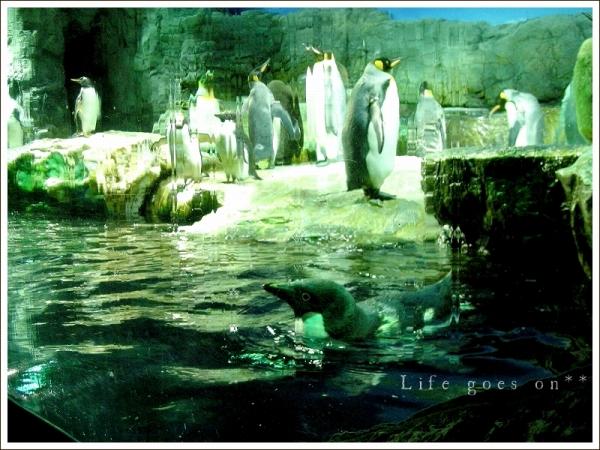 海遊館 ペンギンちゃん *_b0155684_20583026.jpg