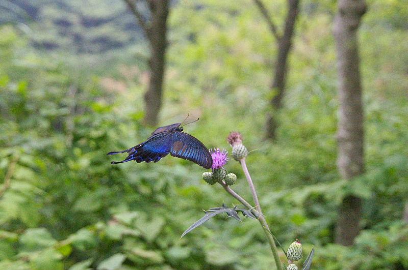 秩父の晩夏の蝶(2010/9/12)_f0031682_9175133.jpg