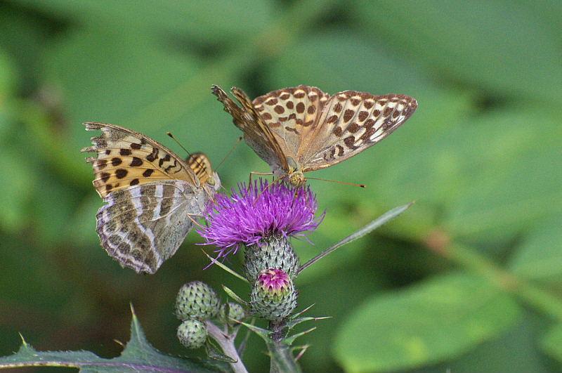 秩父の晩夏の蝶(2010/9/12)_f0031682_99321.jpg
