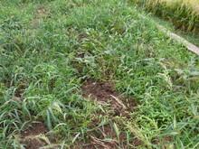 服間小学校の子供たちが蒔いた大豆畑が猪に荒らされた_e0061225_16112023.jpg