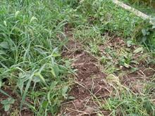 服間小学校の子供たちが蒔いた大豆畑が猪に荒らされた_e0061225_1611777.jpg