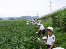 南中山小3年生の子供たちが大豆畑の除草と枝豆の収穫を体験しました_e0061225_16192615.jpg
