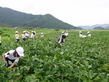 南中山小3年生の子供たちが大豆畑の除草と枝豆の収穫を体験しました_e0061225_1621321.jpg