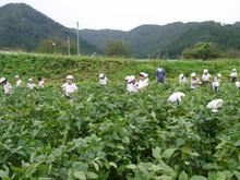 南中山小3年生の子供たちが大豆畑の除草と枝豆の収穫を体験しました_e0061225_16214624.jpg