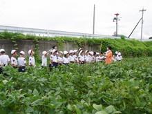 南中山小3年生の子供たちが大豆畑の除草と枝豆の収穫を体験しました_e0061225_1651466.jpg