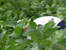 南中山小3年生の子供たちが大豆畑の除草と枝豆の収穫を体験しました_e0061225_16563457.jpg