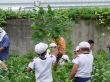 南中山小3年生の子供たちが大豆畑の除草と枝豆の収穫を体験しました_e0061225_16573693.jpg