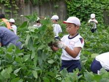 南中山小3年生の子供たちが大豆畑の除草と枝豆の収穫を体験しました_e0061225_16582237.jpg
