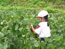 南中山小3年生の子供たちが大豆畑の除草と枝豆の収穫を体験しました_e0061225_16585518.jpg