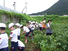南中山小3年生の子供たちが大豆畑の除草と枝豆の収穫を体験しました_e0061225_1712026.jpg