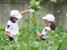 南中山小3年生の子供たちが大豆畑の除草と枝豆の収穫を体験しました_e0061225_173235.jpg
