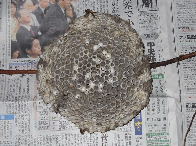 足長蜂の巣の駆除_f0018078_1942598.jpg