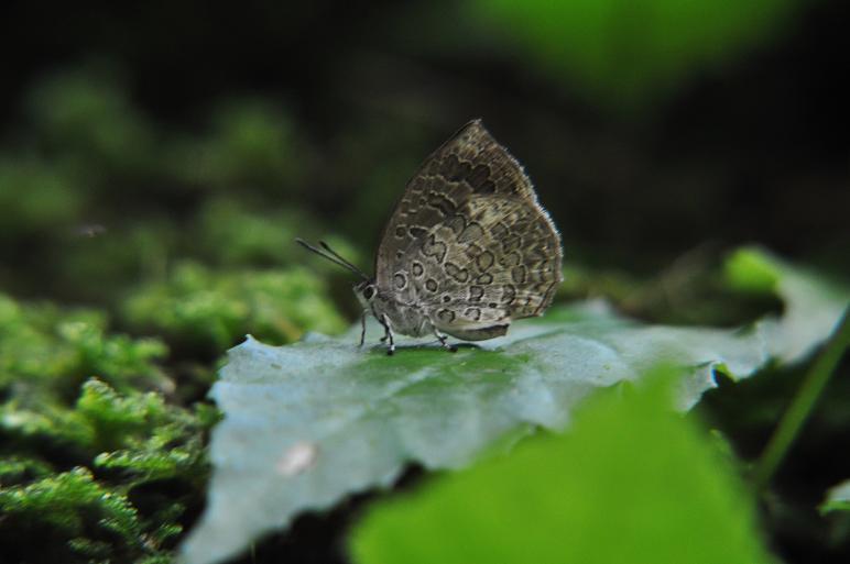 2010想い出の蝶ランキング2位ルーミスシジミ_e0194952_21362423.jpg