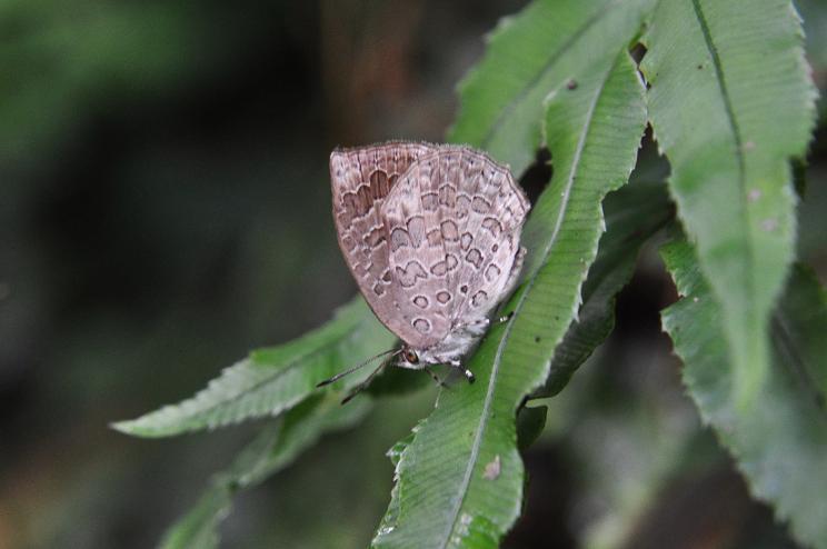 2010想い出の蝶ランキング2位ルーミスシジミ_e0194952_8243693.jpg