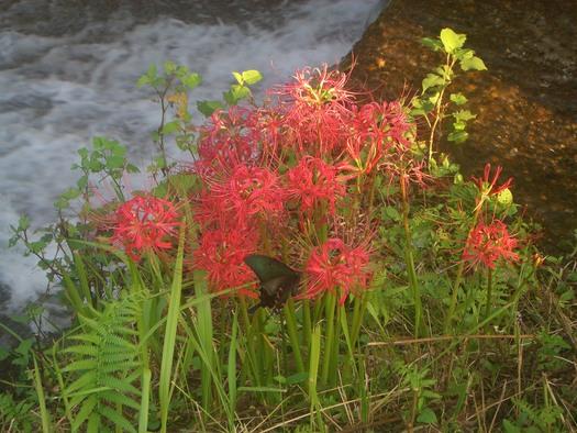 彼岸花が綺麗です_a0130305_2259919.jpg