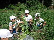 服間小学校の子供たちが枝豆の収穫をしました。_e0061225_17103072.jpg