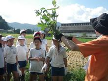 服間小学校の子供たちが枝豆の収穫をしました。_e0061225_1735397.jpg